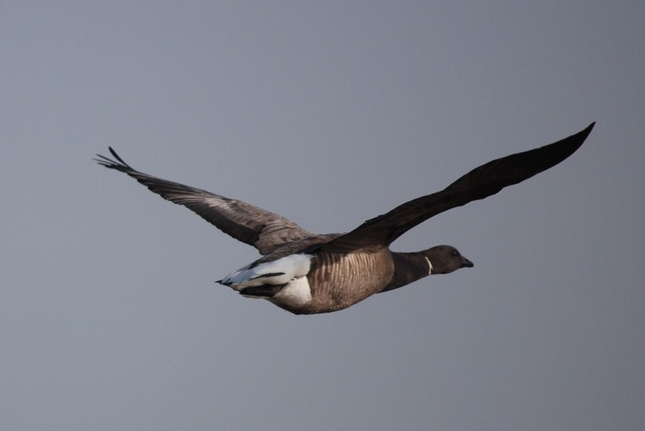 Flying Bird Spread Wings Animal Themes Animals In The Wild One Animal No People Animal Wildlife Full Length Day Outdoors Bird Of Prey Nature Goose Brent Goose Brent