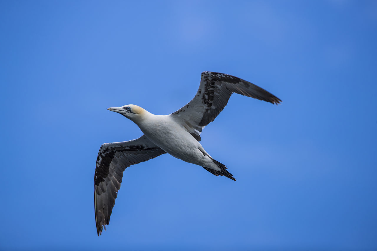 Bass Rock Bass Rock Gannets Beauty In Nature Blue Clear Sky Day Flying Freedom Gannet Low Angle View Mid-air Nature No People Outdoors Scotland Sky Spread Wings