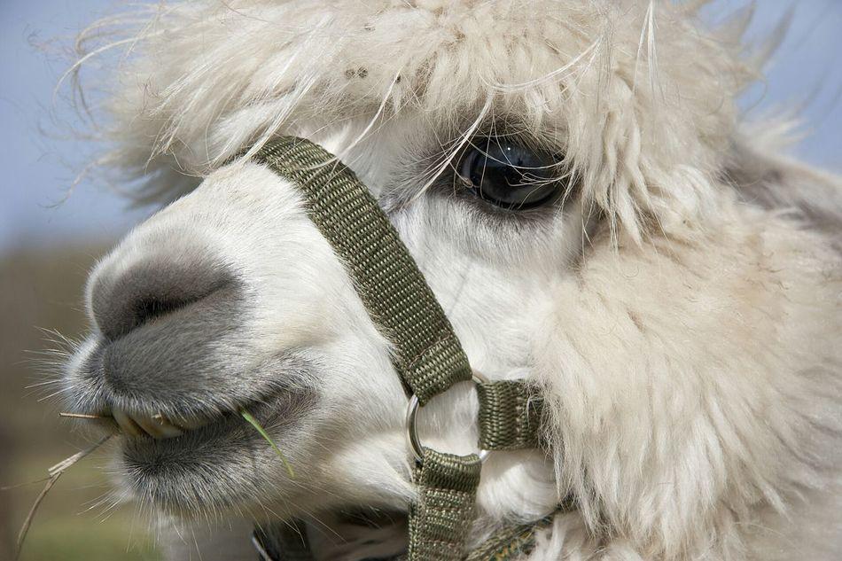 Beautiful stock photos of llama, Adult Animal, Animal Eye, Animal Hair, Animal Head