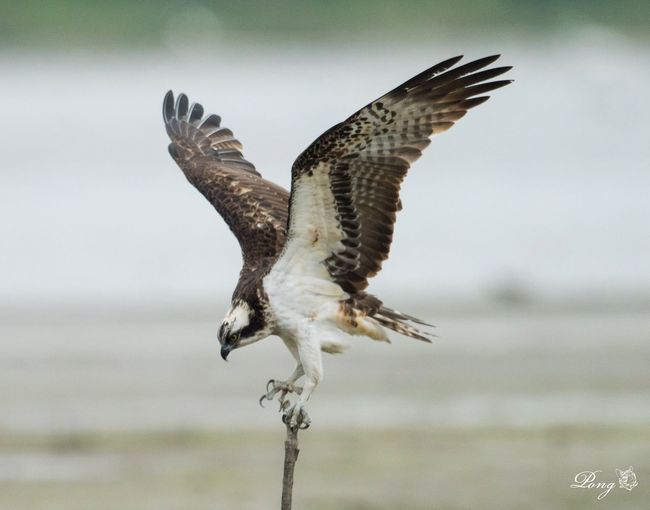 Osprey Nikon Nikonphotography Animal_collection Animals In The Wild NikonD810 800mm HongKong Animal Photography Osprey  Hkbird Birding Nature Photography Bird Photography Maipo Nature Reserve Wwfhk