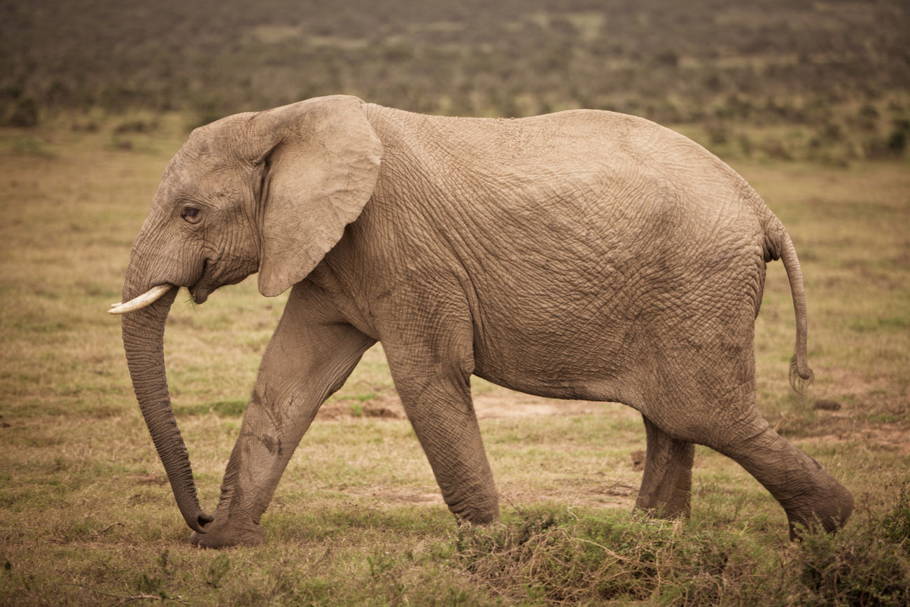 African elephant on the move Africa African Elephant Animal Animal Themes Animal Trunk Animal Wildlife Animals In The Wild Day Eastern Cape Elephant Elephant Calf Giant Mammal Nature No People One Animal Outdoors Safari Safari Animal Safari Animals Side View South Africa Strong Tusk