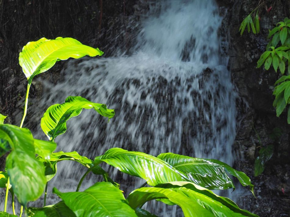 Nature Leaf Water Beauty In Nature Plant Growth Scenics Forest Green Color Waterfall Freshness Green Missouri Botanical Garden