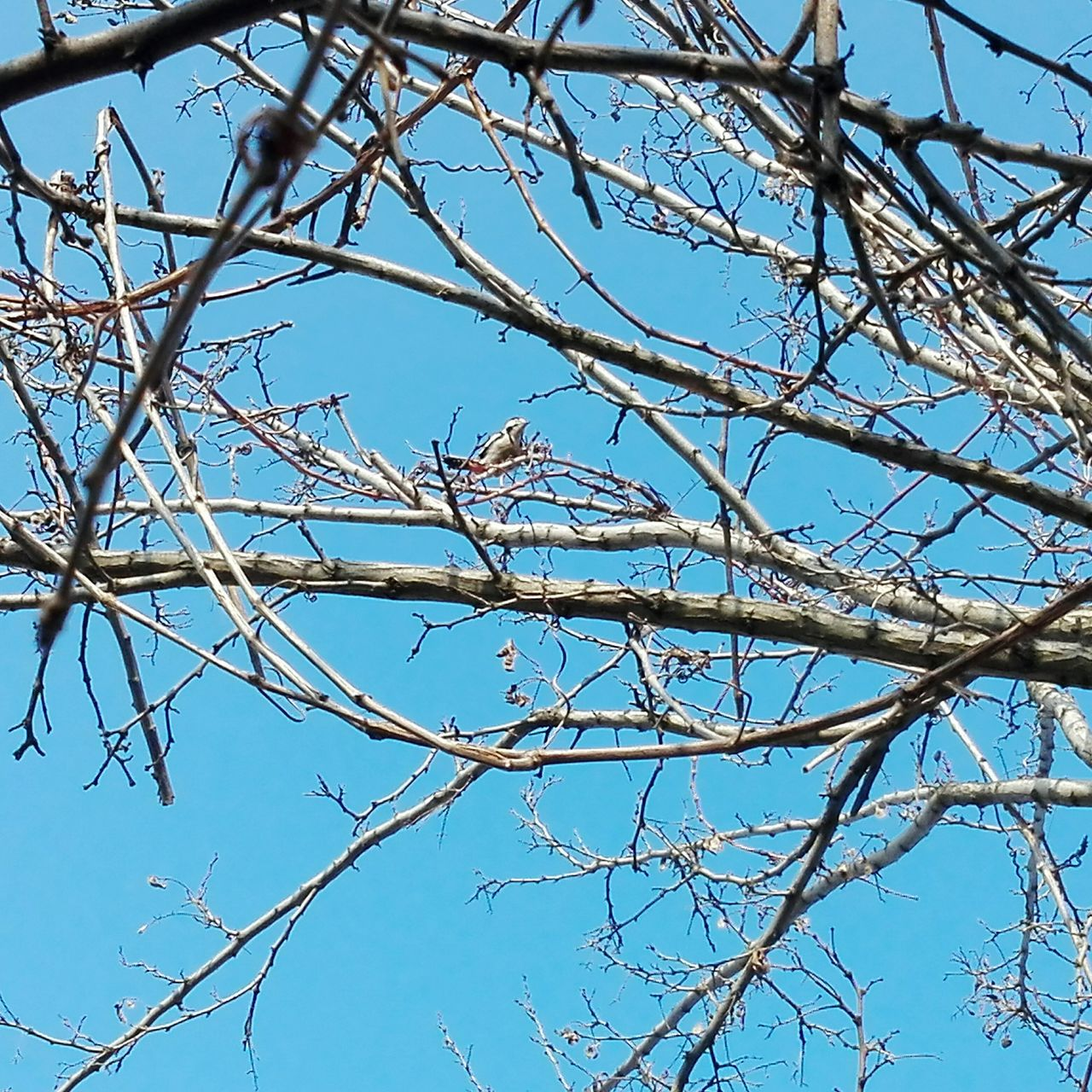 Low Angle View Branch Beauty In Nature No People Sky Tree Nature Outdoors Day Blue On Market Showcase: January Edited By @wolfzuachis Showcase: 2017 @WOLFZUACHiV Veronicaionita Eyeem Market Huaweiphotography Wolfzuachiv Woodpecker Bird Woodpecker On Tree Woodpecker In Tree Bird Woodpecker
