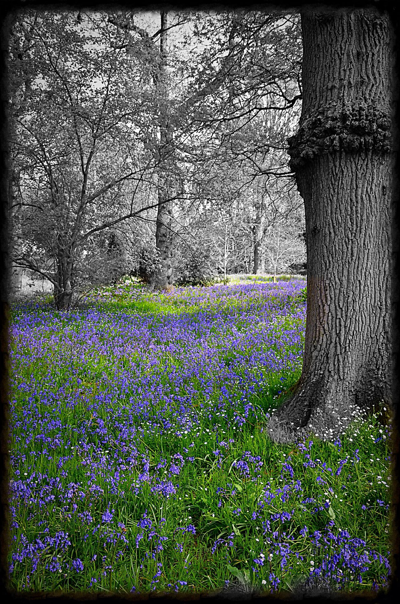 Beauty In Nature Bluebell Bluebell Wood Bluebells Flowers Flowers, Nature And Beauty Flowers,Plants & Garden Fragility Growth Nature No People Plant Spring Flowers Tree Tree Trunk WoodLand Woodland Walk