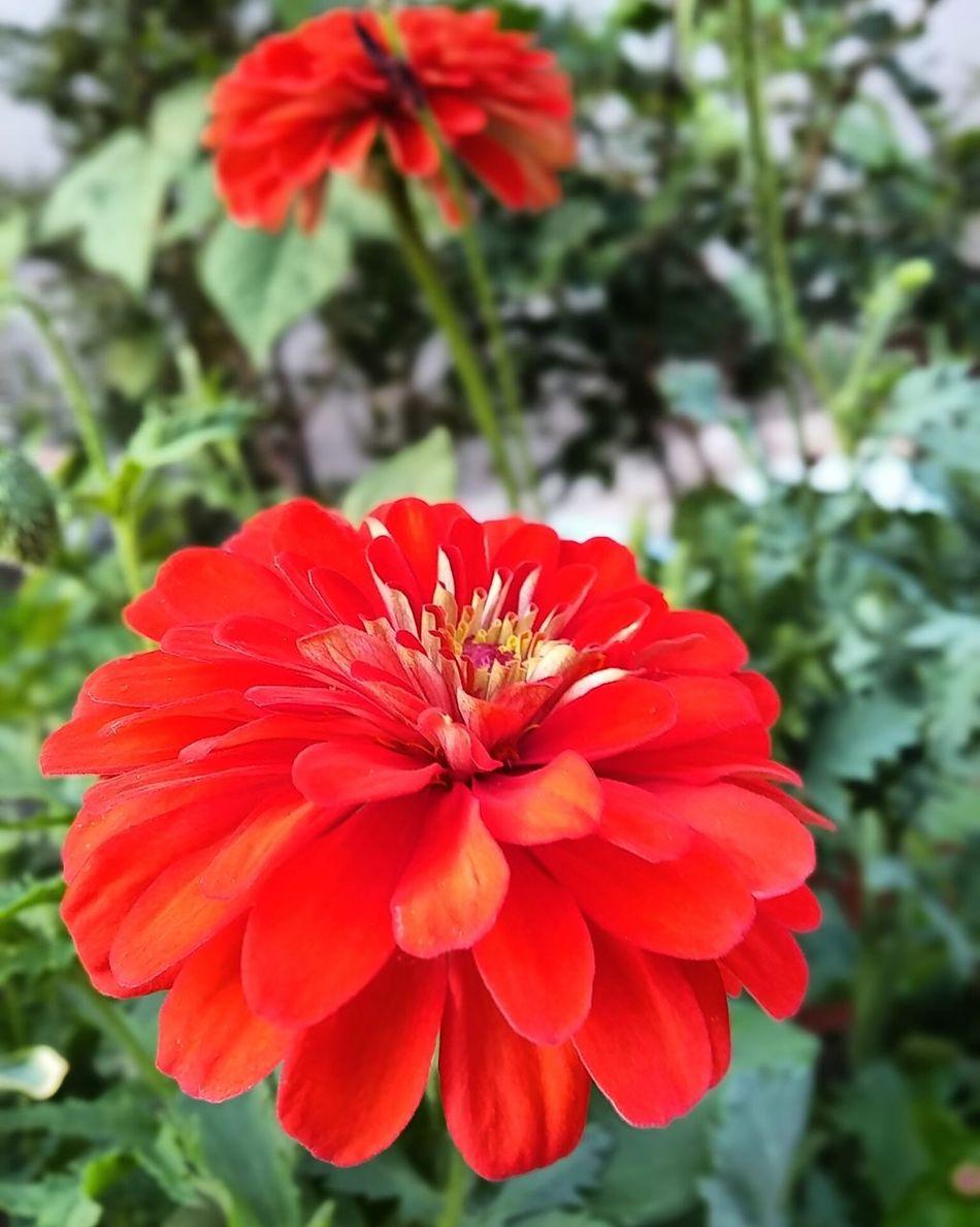 백일홍 百日紅