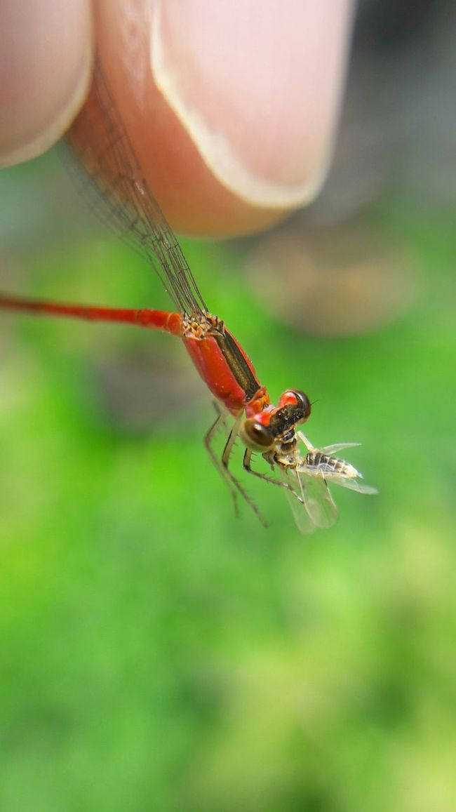 Animal Themes Animals In The Wild One Animal Insect Close-up Dragonfly Focus On Foreground Plant Perching Nature Zoology Green Color Animal Wing Outdoors Red No People Beauty In Nature Fragility Flying Prettythings Beauty In Nature Predatory