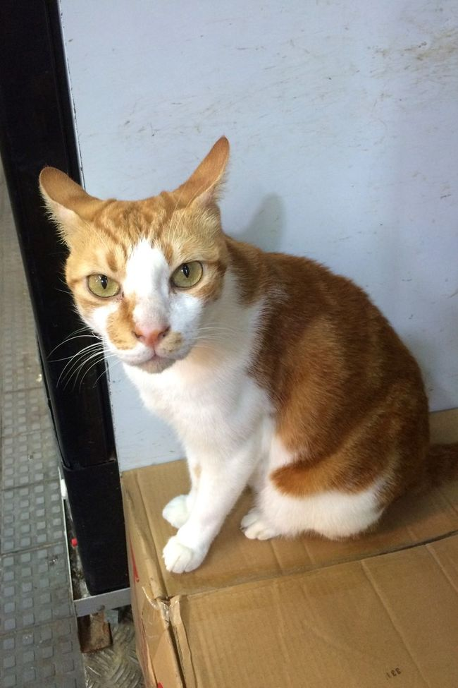 Cat Anmial Brown And White Pet