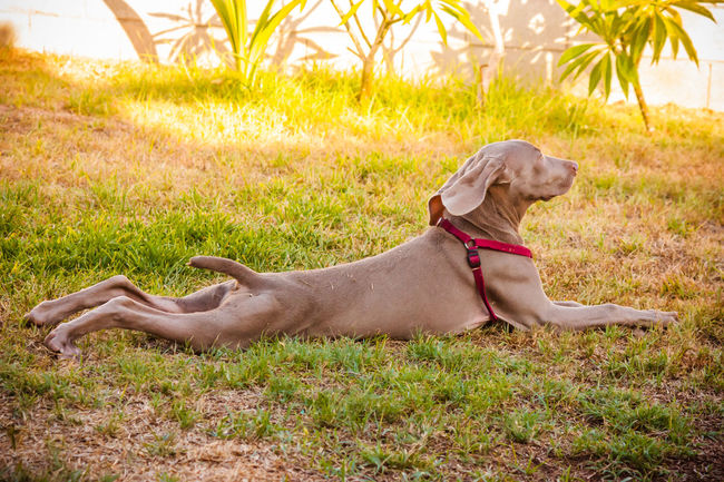 Animal Themes Canine Dog Dog Love Dog Lover Doggy DogLove Doglover Dogoftheday Dogs Dogs Of EyeEm Dogs Playing  Dogs Playing Together Dogslife Dogsofinstagram Dogstagram Dog❤ Domestic Animals German Weimaraner Lying Down One Animal Outdoor Playtime Outdoors Pets Playing Outside