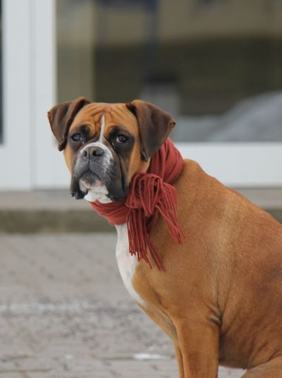 Boxer Dogs SweetLe