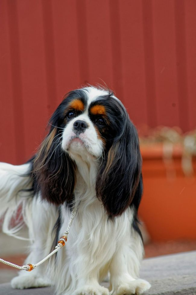 Incredible Expression Cavalier King Charles Spaniel Ckcs Cavalierking Dog Love Cavalier King Charles Beautiful Cavalier Akc Dog Cavalierkingcharlesspaniel Cavalier