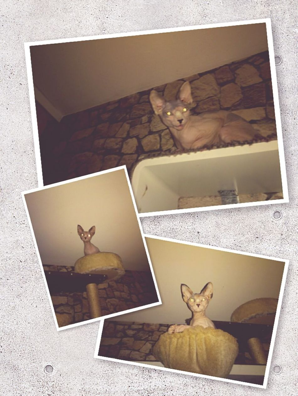 Gremlins Canadian Sphynx My Little Monster Hairless Cat