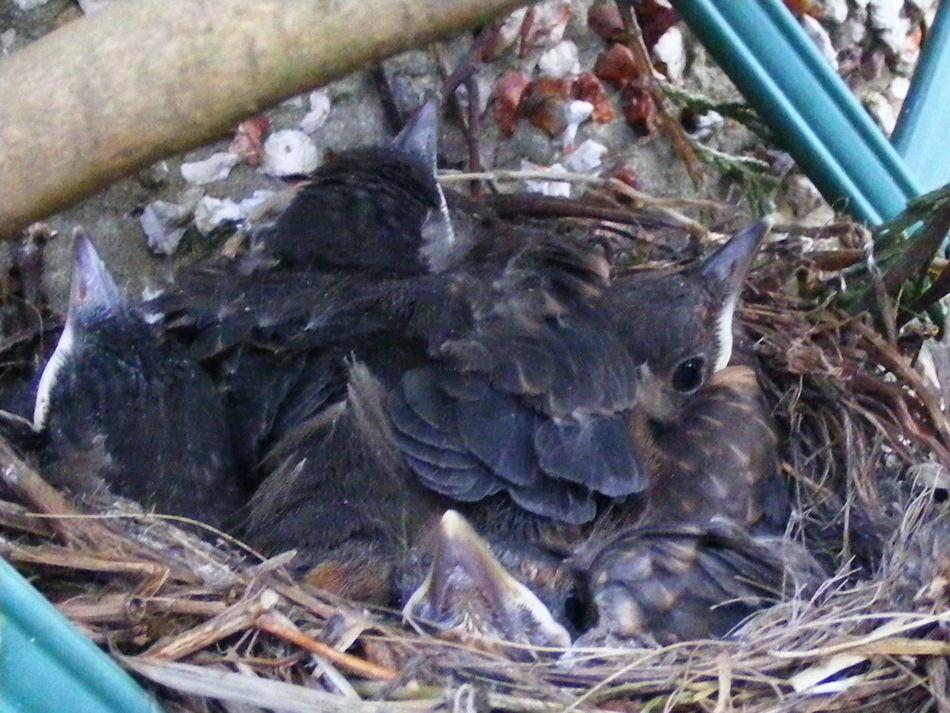 Animal Nest Animal Photography Animal Themes Baby Birds Baby Blackbirds Beauty In Nature Bird Nest Blackbird Chicks Blackbird Hatchlings Close-up Nature Wildlife Wildlife & Nature