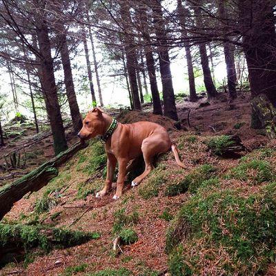 Pitbullinstagram Pitbeauty Pitbull PupY summer sun nature love wood dontbullymypitbull pupylove dog