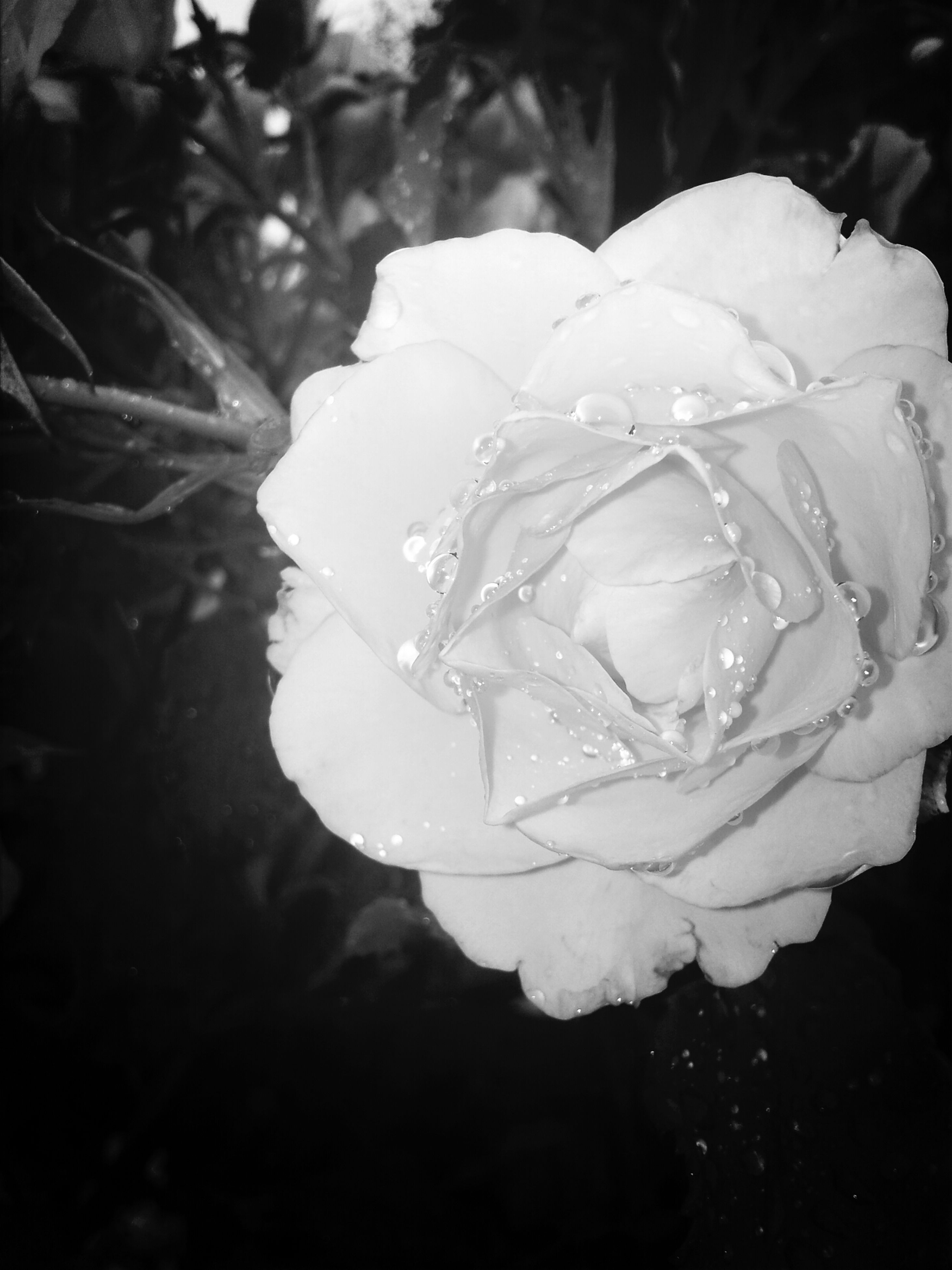 petal, flower, fragility, freshness, flower head, rose - flower, close-up, drop, single flower, beauty in nature, water, wet, growth, nature, focus on foreground, white color, blooming, season, single rose, rose