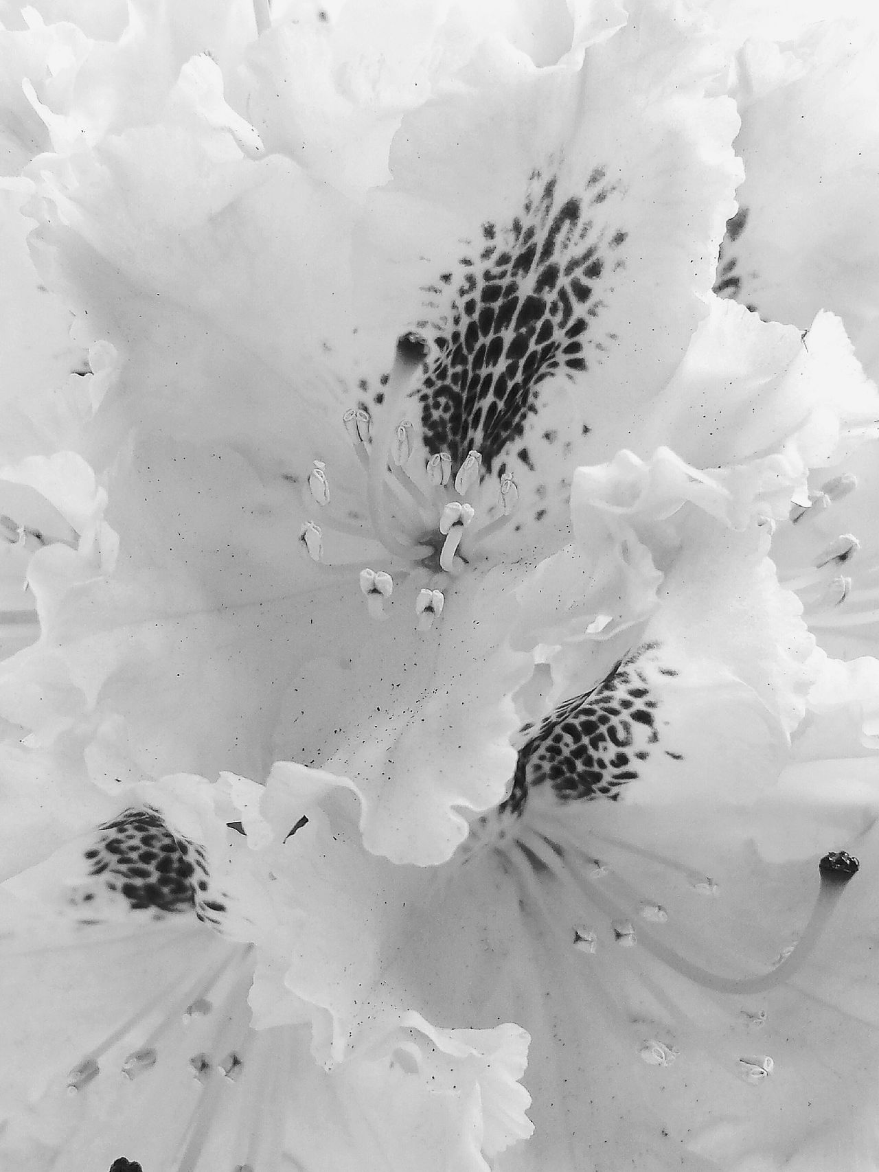 Nature's Diversities Rhododendronblűte Rhododendron Blossoms Close Up Close-up Macro Macro Beauty B&W Collection White Album Studies Of Whiteness Studies Of Botany Black&white Blossoming Magic Blütenschönheit Blütenrausch Blütenzart Blütenzauber Blossoming Beauty Wonderful Nature Blűtenstempel Macro Blossoms Showcase: May Beautiful Nature Ladyphotographerofthemonth Full In Blossom
