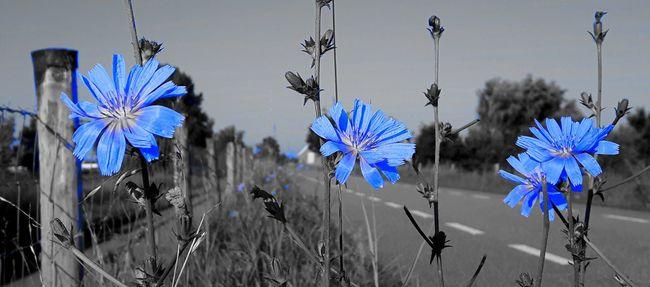 True Blue Chicory Color Palette Colour Of Life