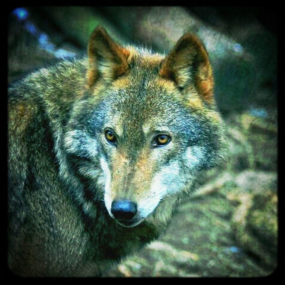 Wolf Highland Wildlife Park