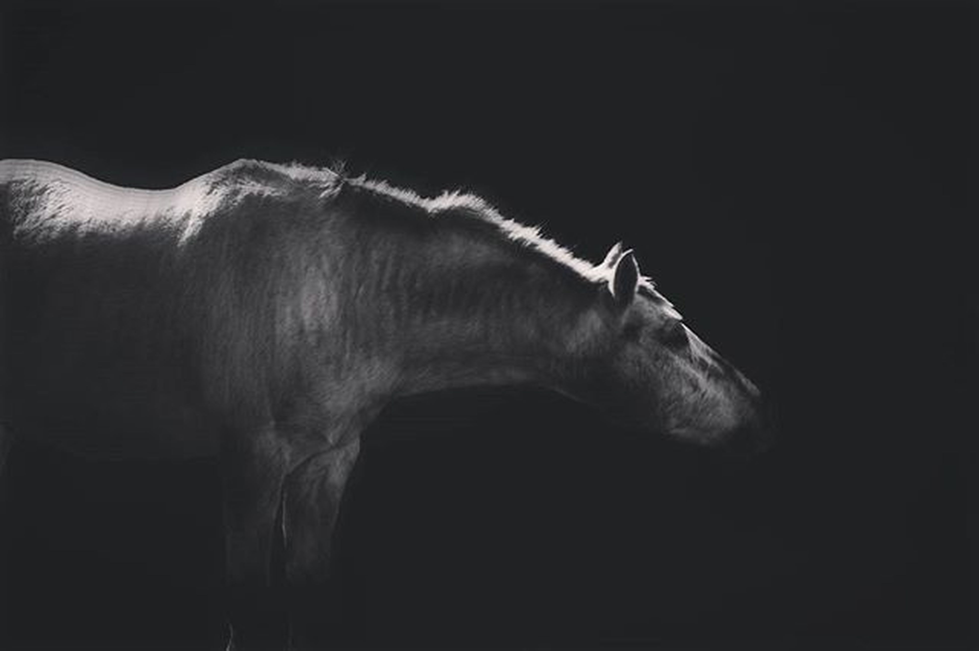 animal themes, horse, one animal, mammal, copy space, herbivorous, livestock, domestic animals, wildlife, animals in the wild, animal body part, low angle view, night, clear sky, side view, animal head, dark, no people, zoology, black background