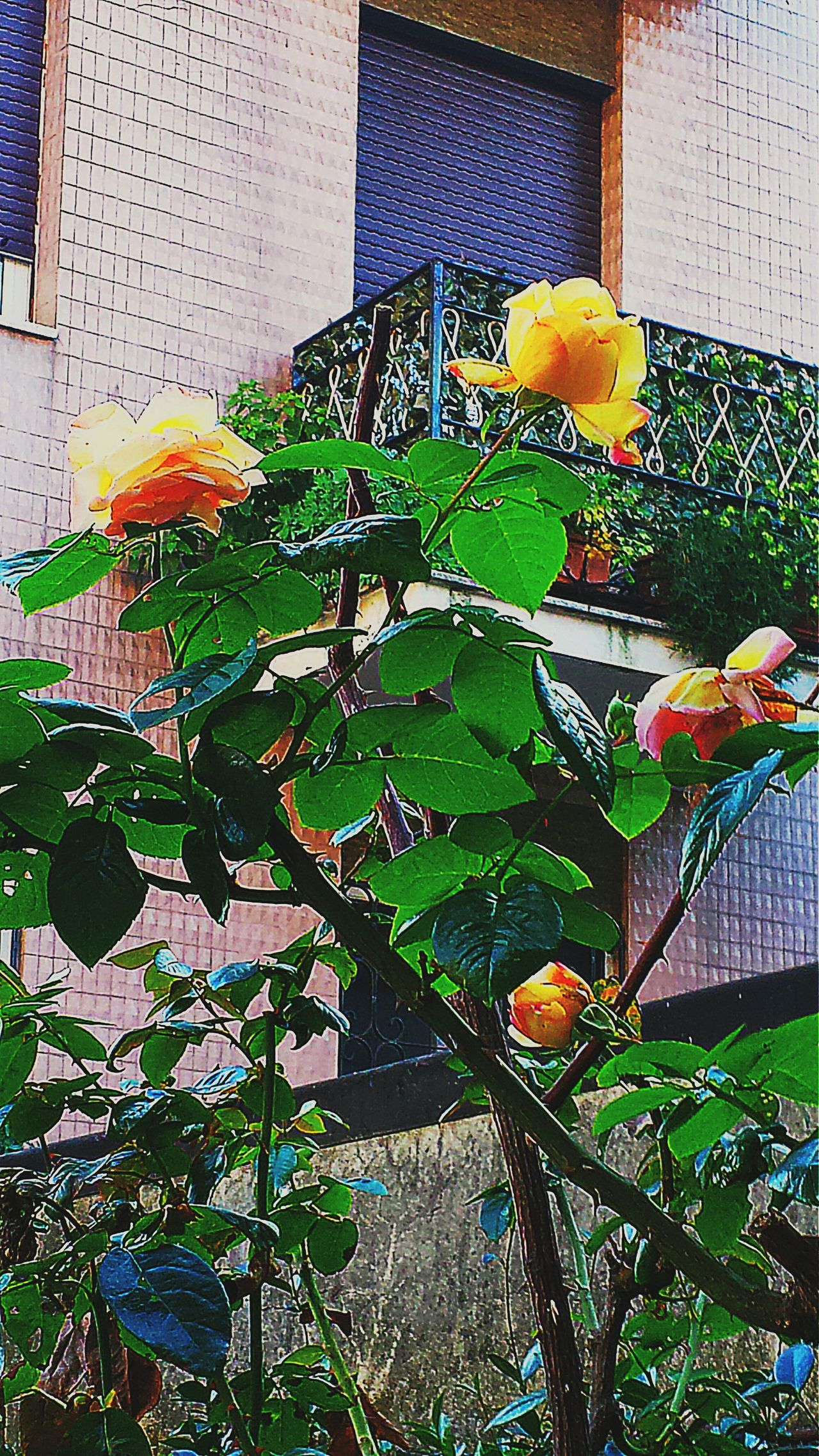 Rose🌹 Yellow Rose Taking Photos Creative Light And Shadow Color Photography EyeEm Gallery Creative Light And Shadow Flowerlovers Fleur ♡ Flower