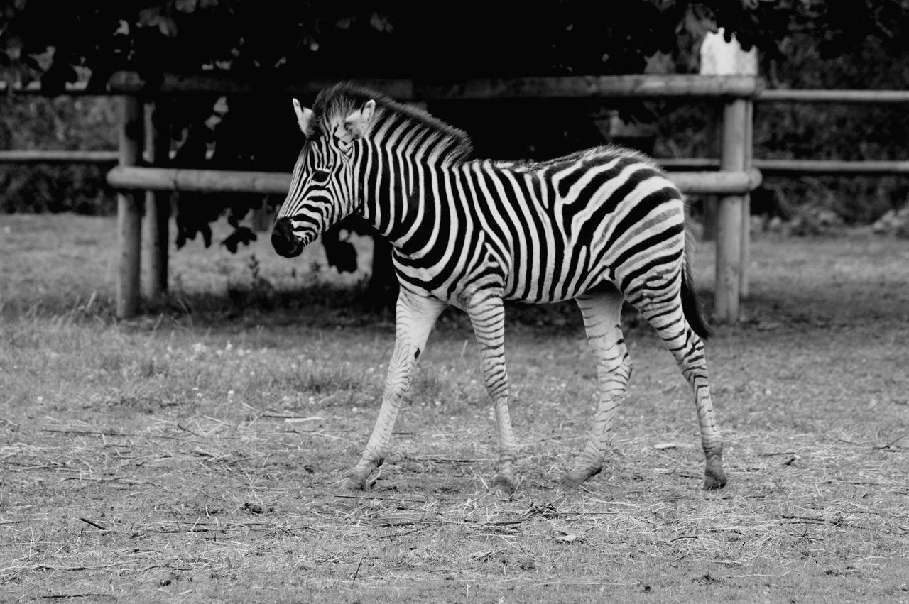 Beautiful stock photos of zebra, Animal Markings, Animal Themes, Animal Wildlife, Animals In Captivity
