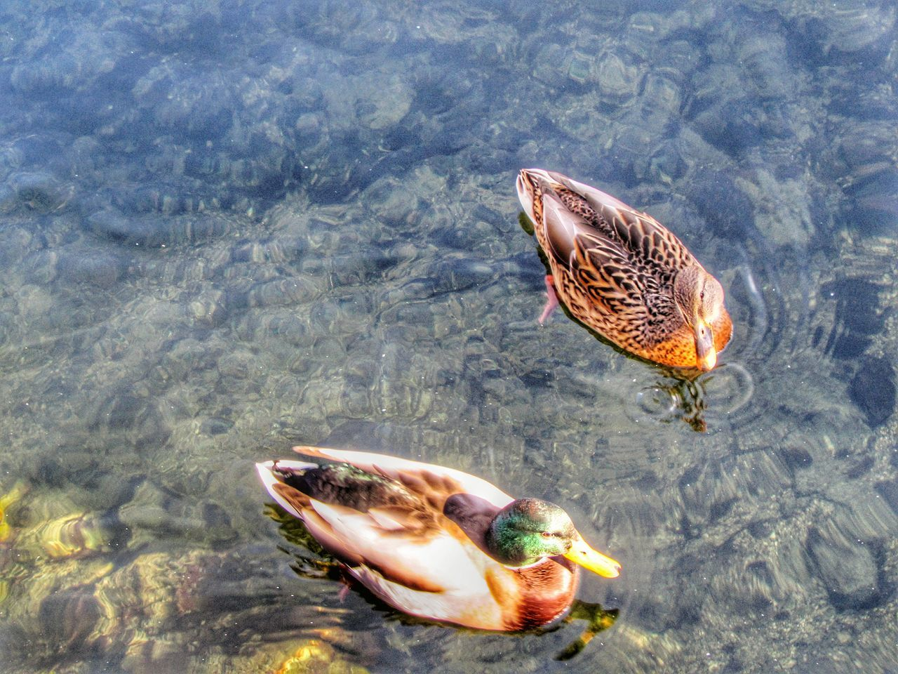 animal themes, animals in the wild, high angle view, waterfront, one animal, no people, water, nature, day, animal wildlife, outdoors, bird, lake, swimming, beauty in nature, close-up