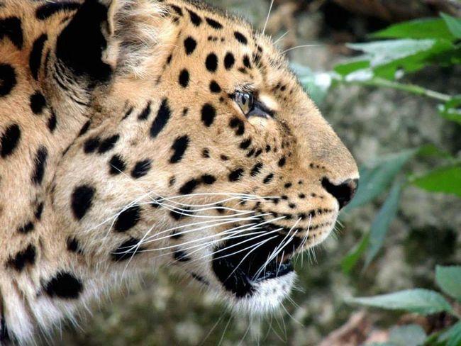 Animals Tiger Wild Wildlife & Nature Predator Zoo Zoo Animals  Zoophotography First Eyeem Photo