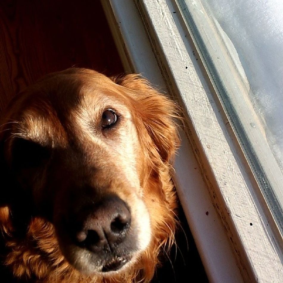 My puppy. Shes getting awful old :( Puppydog Mybestfriend Golden Pleasestay
