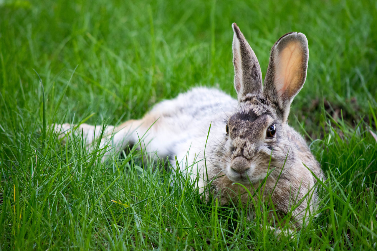 Animal Bunny  Cute Animal Easter Fluffy Fur Laying Down Pet Rabbit Relaxing Wild