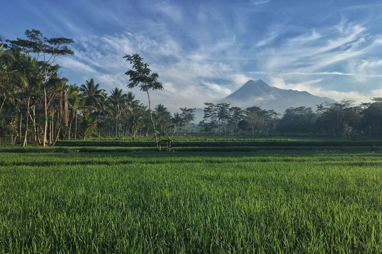 Yogyakarta, Indonesia Merapi Volcano Merapi Mountain Mount Merapi Outdoors Paddy Field Rice Grain