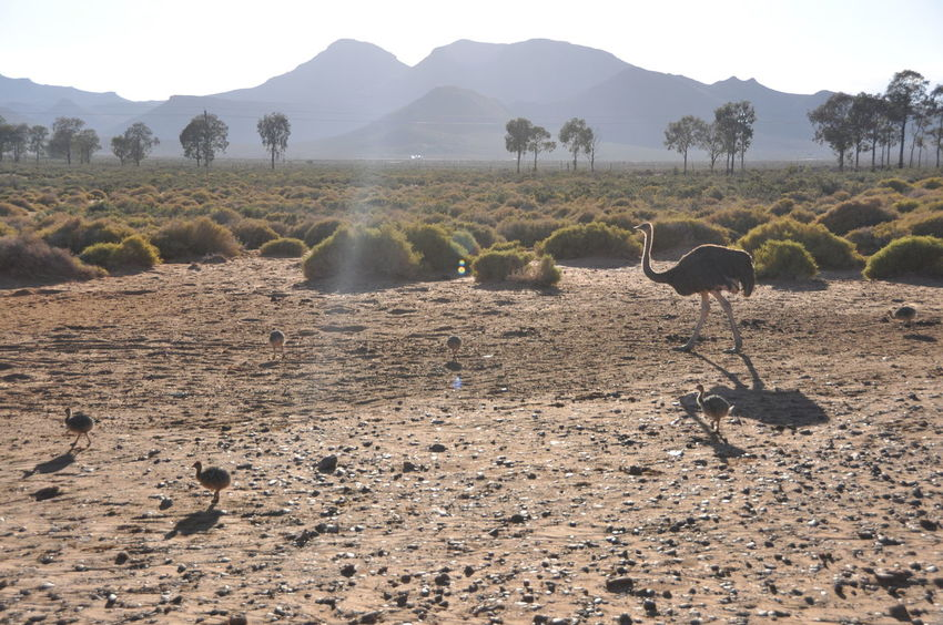 Africa Aquila Game Reserve Big Family Day Kindergarden Landscape Mountain Nature No People Ostrich Ostrich Babies Outdoors Tree