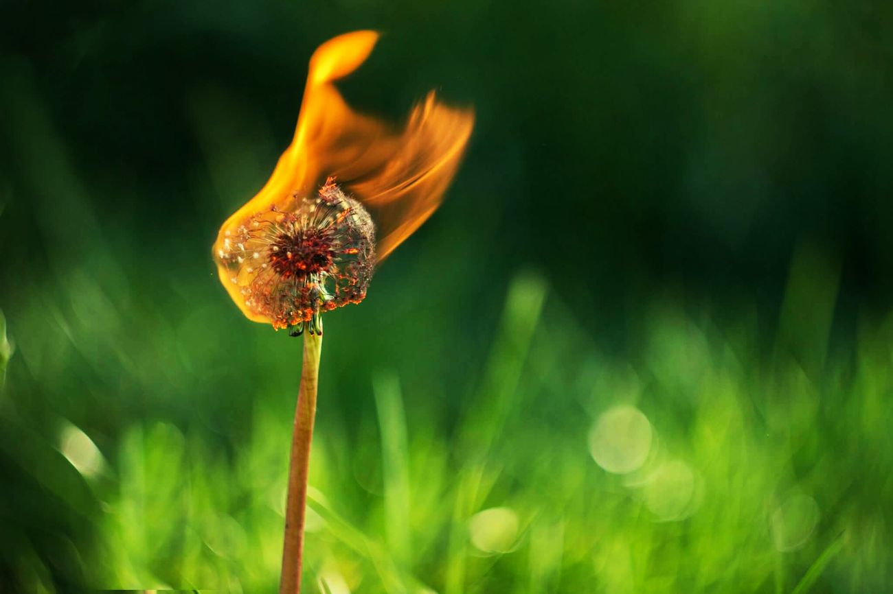 Beautiful stock photos of pflanzen, Concepts & Topics, Dandelion, Day, Destruction