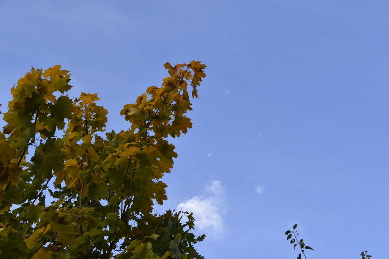 Autumn Autumn Blue Clear Sky Day Earls Colne Essex Horizontal Leaf Leaf 🍂 Leaves Low Angle View Maple Leaf Nature No People Outdoors Sky Tree