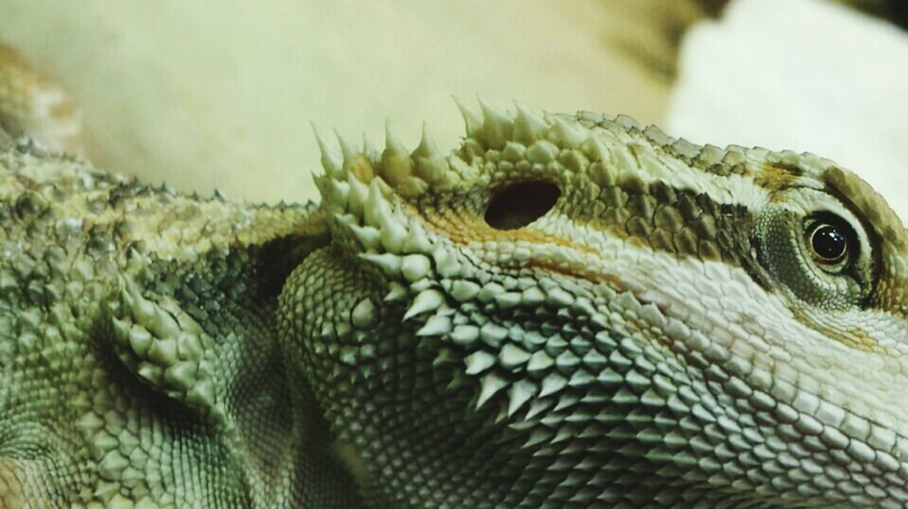 reptile, one animal, animal themes, animals in the wild, close-up, animal wildlife, lizard, bearded dragon, no people, day, animal scale, nature, iguana, outdoors