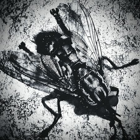 Blackandwhite Contrastporn Insect Photography Fly Dramatic Black And White Beauty Is In The Eye Of The Beholder Wings Sunlight And Shadow Shadow Black And White Collection
