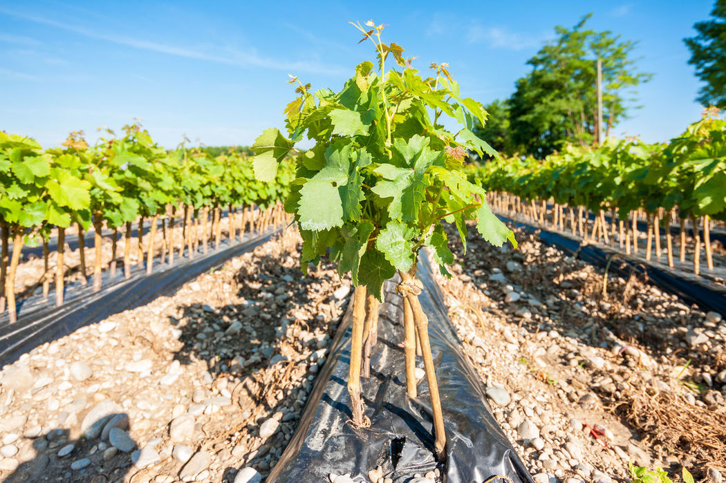 young vineyard Agriculture Country Cultivation Field Graft Growth Harvest Rooted Row Rural Vineyard Young