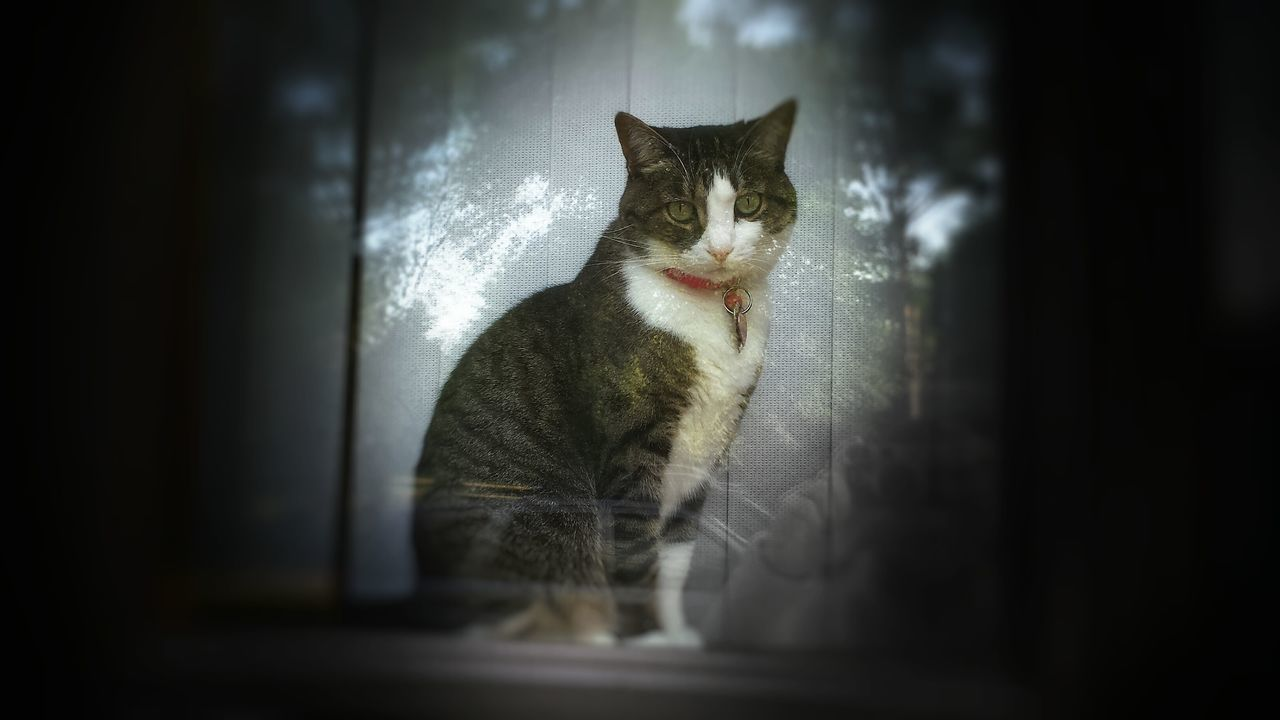 Animal Themes Cat Curiosity Domestic Cat Feline In The Window Indoors  Looking At Camera Michigan One Animal Pets Vignette Whisker