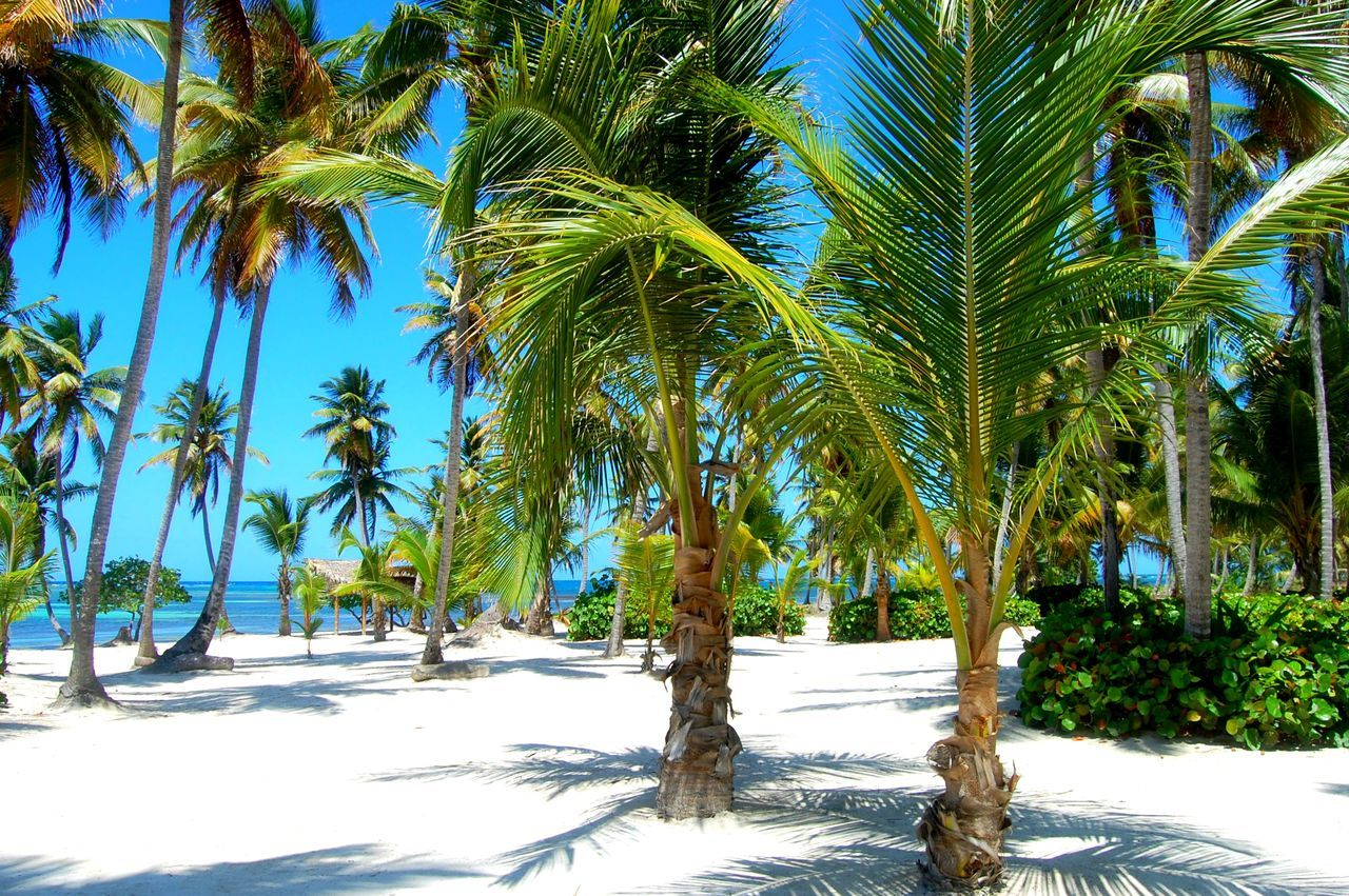 Palm Tree Tree Nature Outdoors Scenics Tranquility Day Tranquil Scene Growth Beauty In Nature No People Sky Palm Sand Beach Beach Photography Green Color Greettheoutdoors Caribbean Dominican Republic Beach Life White Sand Travel Photography Travel Travelling