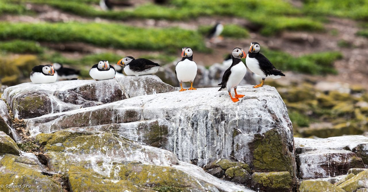 Bird Animals In The Wild Animal Wildlife Animal Themes Animal Nature Outdoors Penguin Large Group Of Animals No People Flock Of Birds Snow Day Perching Puffins
