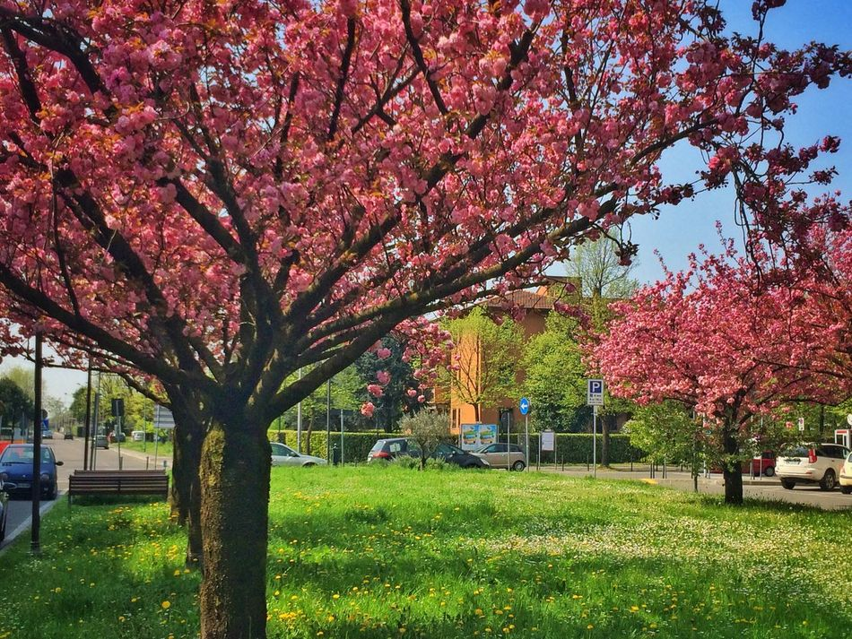 Home Springtime Spring Building Trees Urban Nature Nature_collection Spring Has Arrived Urban Pink