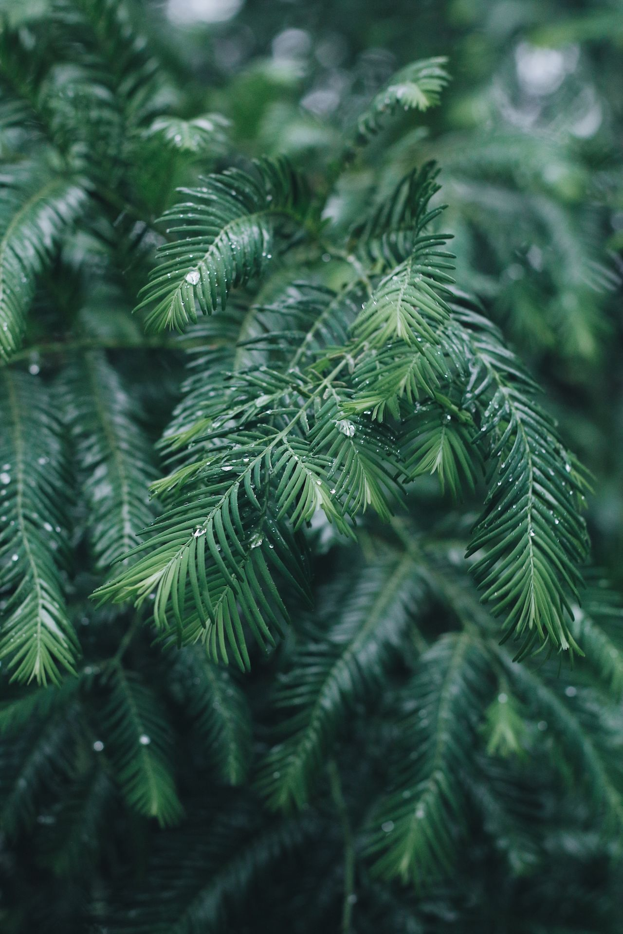Rain Rainy Days Raindrops Nature Pine Tree Green Color No People Green Growth Close-up Pinaceae Beauty In Nature EyeEmNewHere From My Point Of View Leaves_collection Focus On Foreground Day Tree Branch Fern Needle Spruce Tree Fir Tree Outdoors Freshness