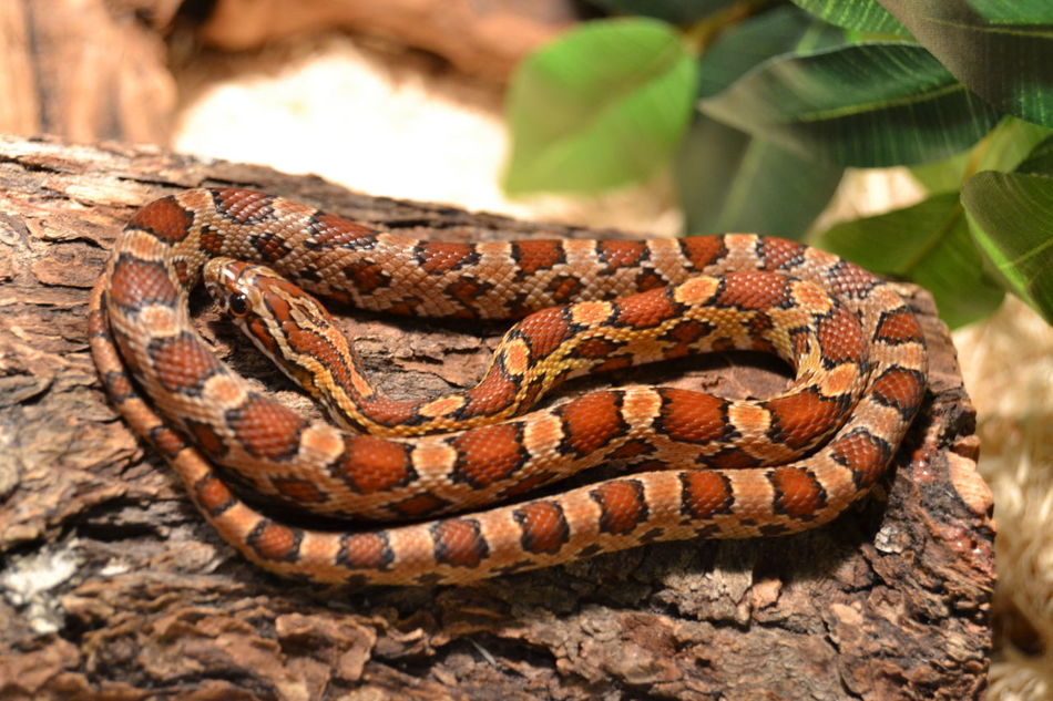 Abundance Animal Themes Baby Animals Baby Snake Backgrounds Brown Close Up Close-up Corn Snake Cornsnake Cute Detail Directly Above Full Frame No People One Animal Pet Pets Preparation  Rough Snake Temptation Wildlife