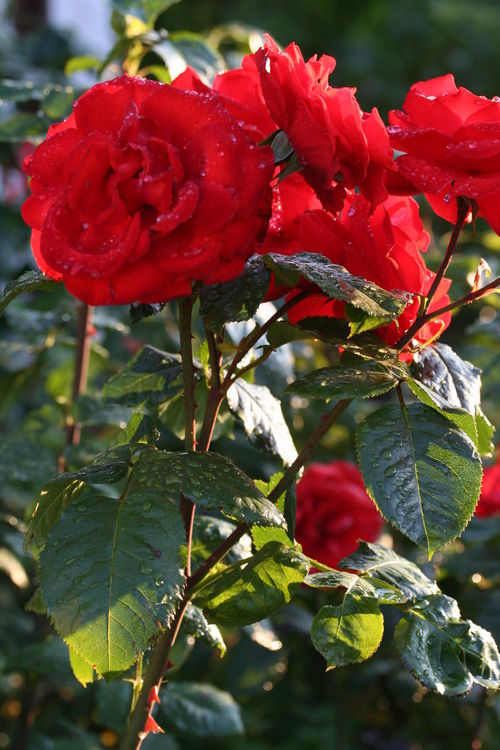 Red Roses 2 Beauty In Nature Blooming Close-up Flower Flower Head Growth Nature Plant Red