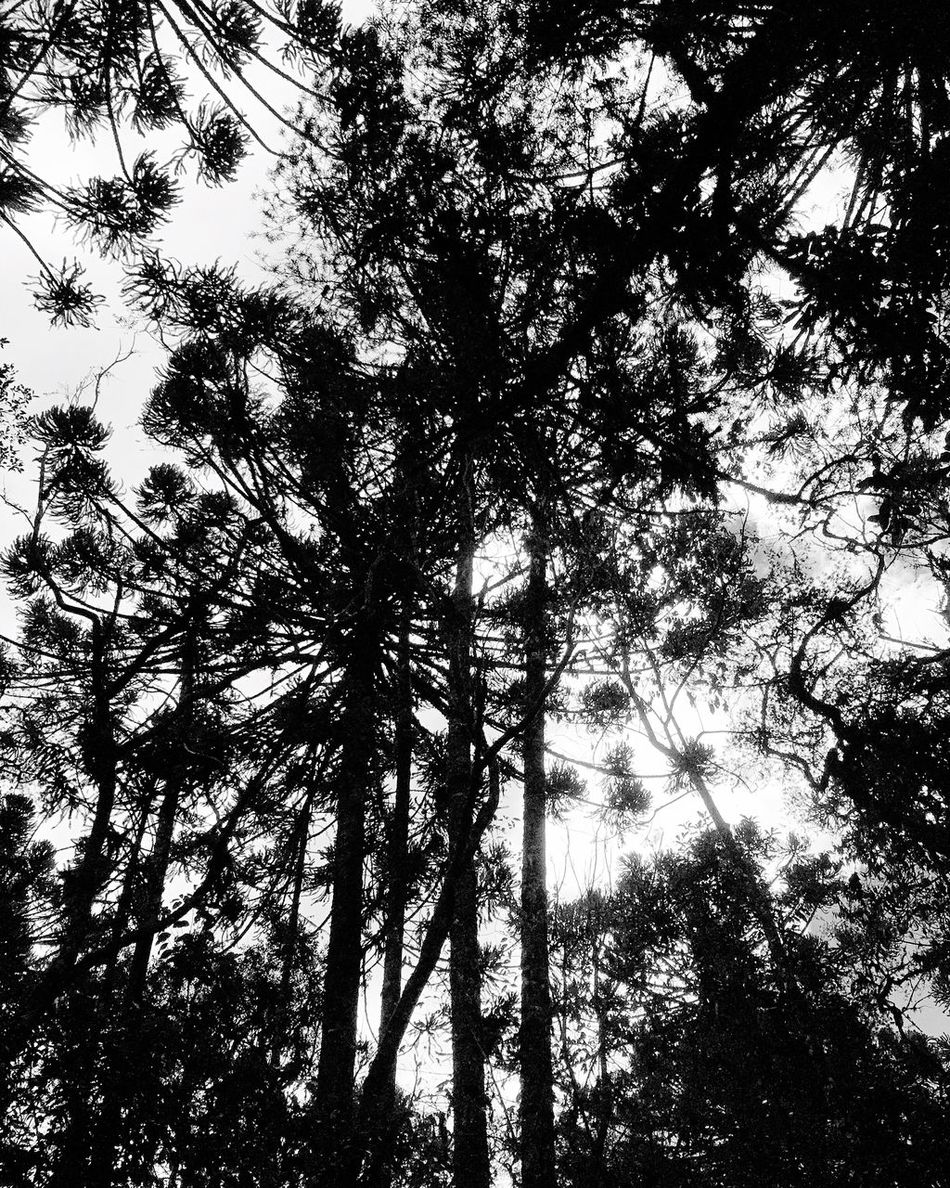 Araucaria Trees Network like Neurons / Araucárias Araucaria Araucaria Tree Araucariatree Tree / Neural Network Neuralnetwork Synapse Synaptic / Pivotal Ideas Festival Season What's On The Roll Monochrome Photography