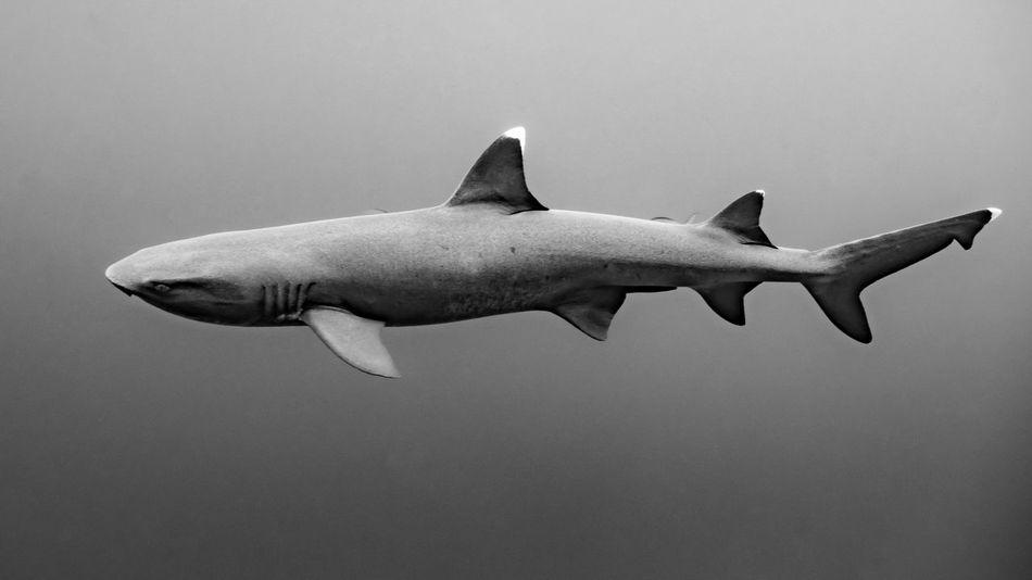 Beautiful stock photos of shark, animal themes, one animal, animals in the wild, wildlife