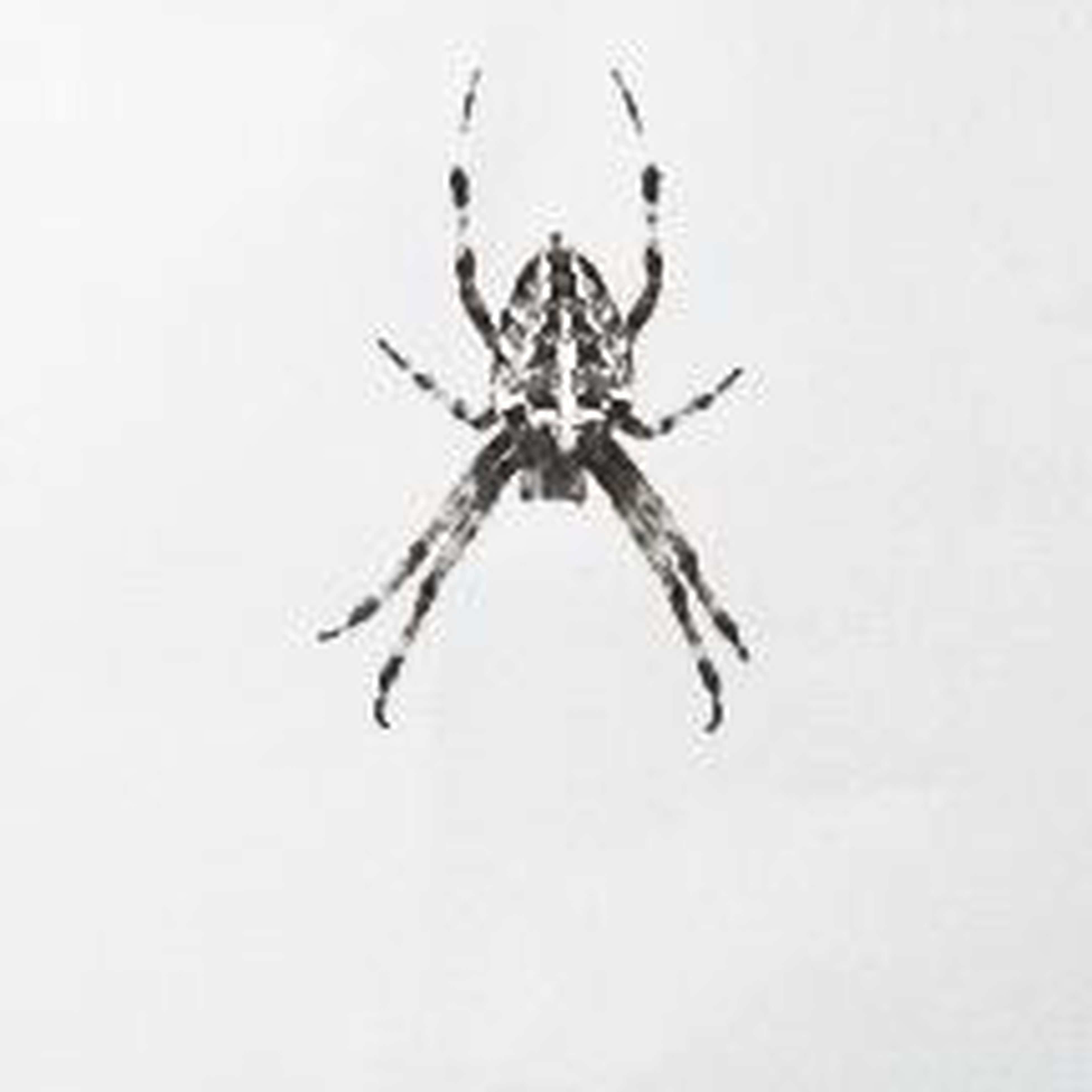 animal themes, studio shot, insect, wildlife, animals in the wild, white background, one animal, copy space, spider, close-up, indoors, no people, nature, wall - building feature, death, day, animal wing, dead animal, full length, cut out