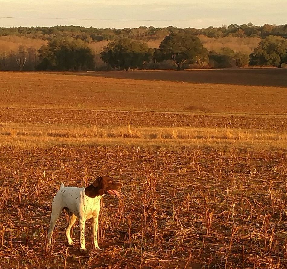 Outdoors Sunset Agriculture Brown Rural Scene No People Sky Nature Day Germanshorthairedpointer Loner Life EyeEm Animal Lover Dogs Of EyeEm Dogs Dogs Dogs Gsp