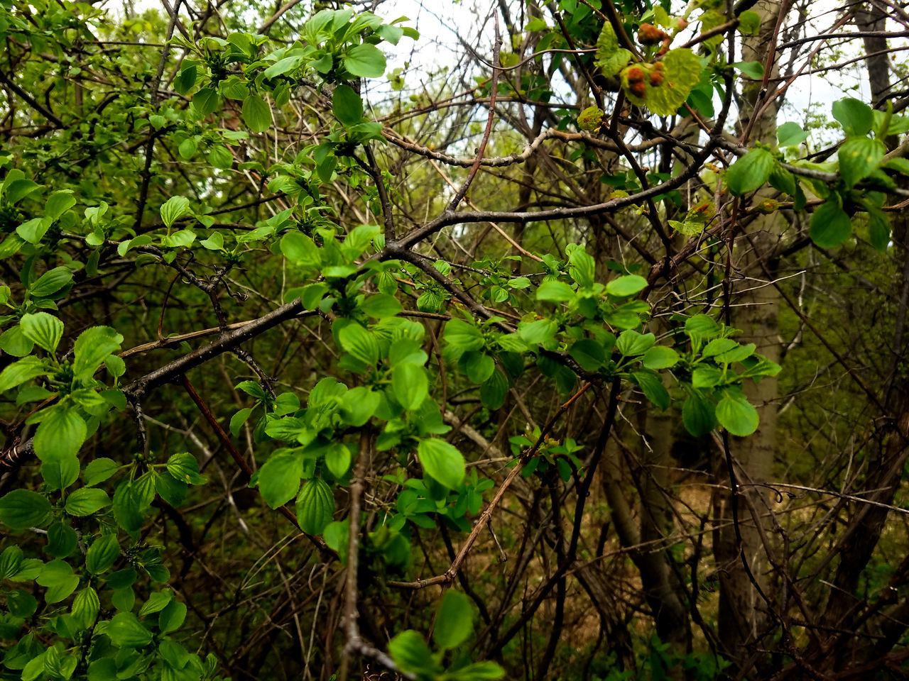 growth, tree, nature, branch, leaf, plant, no people, beauty in nature, outdoors, green color, day, fruit, freshness, close-up
