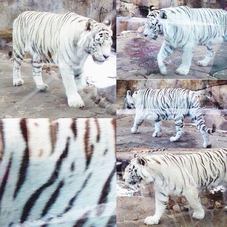 зоопарк московскийзоопарк тигр Tiger First Eyeem Photo