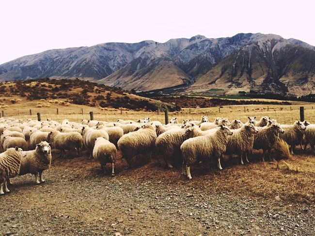 Sheep New Zealand Scenery Canterbury NZ :) New Zealand Beauty New Zealand Somewhere In New Zealand New Zealand Natural New Zealand Sky