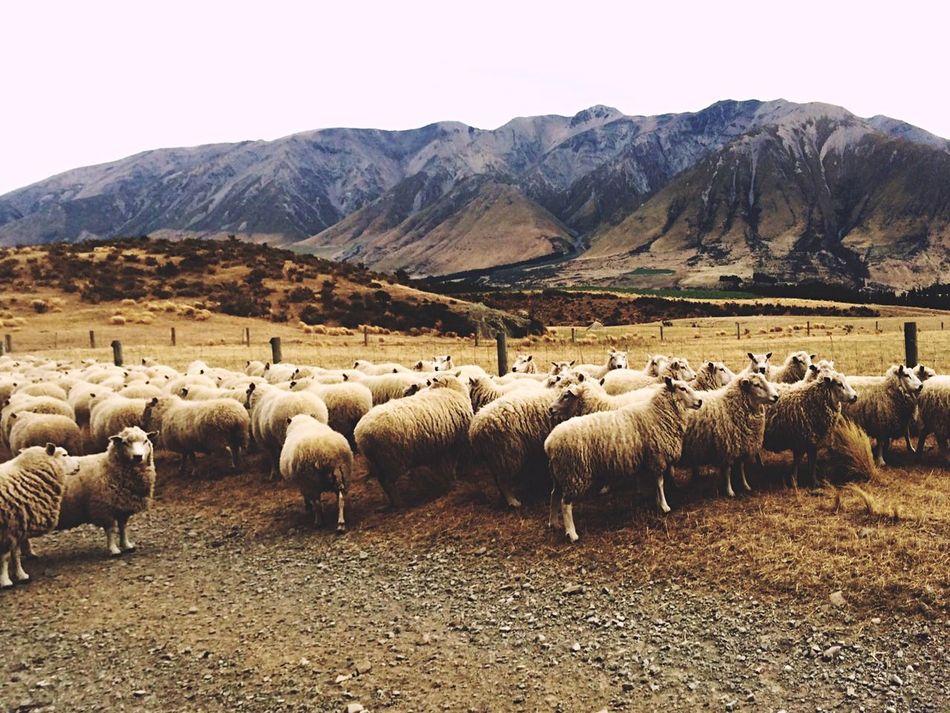 Sheep New Zealand Scenery Canterbury NZ :) New Zealand Beauty New Zealand Somewhere In New Zealand New Zealand Natural New Zealand Sky